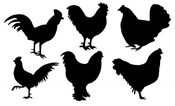فایل کالکشن مرغ و خروس